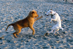 Neener! Neener! You Can't Get me! (Just Jo) Tags: dog beach dogs topf25 goldenretriever wonderful puppy wonder sand puppies 500v20f sandiego action favme 100v10f jackrussell greatshot 5bestdogs 500v fightclub yourfavorites fantasticthemesmallthings
