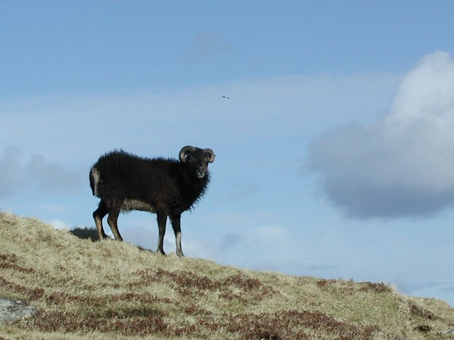 Feral Soay sheep 2