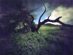 Oak Tree at Santa Teresa Park (erin_designr) Tags: blue sky painterly tree green grass topv111 landscape polaroid 50mm pinhole kra05 expressive topv3333 oaktree santateresa erinmalone type79 gnarlytree colorlandscapes sfchronicle96hrs instant100best displayedinstant100best californiaimpressions