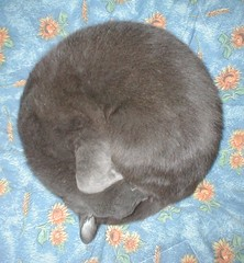 a perfect circle (di notte note) Tags: sleeping cats cat circle perfect squaredcircle curl gatto gatti cc800 cc1000 abigfave cat1000 kittysuperstar impressedbeauty pet2000 pet1500