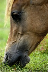 yummy (bea2108) Tags: horses horse animal animals arab arabian arabianhorse