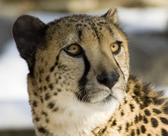 Staring at the Beyond (martytdx) Tags: topf25 beautiful animals 1025fav cat zoo topv333 feline bigcat stare cheetah endangered predator captive carnivore 1000views donated philadelphiazoo acinonyxjubatus 84points