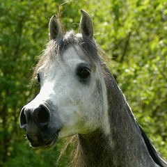 I am the king! (bea2108) Tags: horses horse beautiful animal animals wow explore arab arabian arabianhorse interestingness461 i500 hbotw hbotwarabian