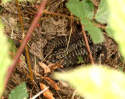 Couleuvre- Grass snake