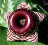 Huernia zebrina (Take II) (petrichor) Tags: plant flower macro succulent collection apocynaceae huernia zebrina feb2006 huerniazebrina stapeliad asclepiadoideae auselite davidjmidgley