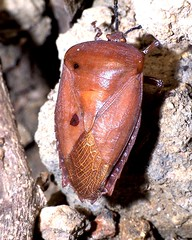 Mr Big (CharlesLam) Tags: 15fav macro insect geotagged ilovenature hongkong hemiptera pentatomidae lycheestinkbug tessaratomapapillosa geo:lat=2238046 geo:lon=11421822 kclama