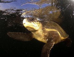 Grouchy Turtle-Sumer Verma-Greenpeace (Capitan Giona) Tags: sea india mare turtle greenpeace natura tartaruga