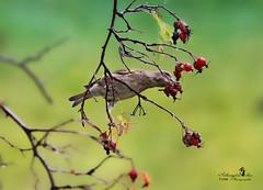 Beerendieb :-) (Schneeglöckchen-Photographie) Tags: grünfink vogel bird beeren hungrig hungry berry winter