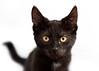 'Jingle' (Jonathan Casey) Tags: cat chums catchums norfolk uk kitten nikon d810 105mm f28 vr