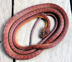Brown Tree Snake, Boiga irregularis (Mangiwau) Tags: red orange brown tree indonesia dead death big slow head reptile snake certain bite poison 1001nights papua sua ular breathtaking highly poisonous deadly venomous venom scaley scaly keerom boiga irian wowiekazowie irregularis earthasia