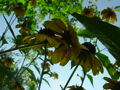 up susan (grrltrouble) Tags: flowers garden sky blackeyedsusan