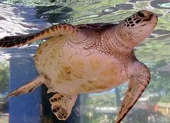 Lil Turtle (hodad66) Tags: hawaii turtle sealifepark water
