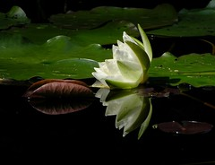 (Abra K.) Tags: reflection bravo paradise waterlily ~~ itsongselection1 intermezzo moorpond nelumbonaceae itsongnikone8700 presenttime itsongmacrocosmos itsongmacroscape magicdonkey