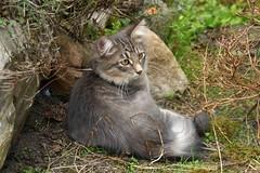Gorbi143 (Raymonde) Tags: cats pets animals gatos kitties katzen siberiancat