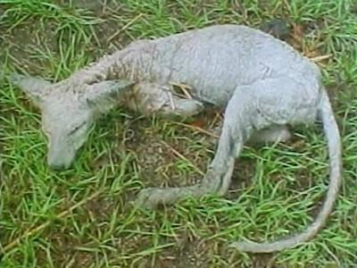 Chupacabras cadáver cría Texas