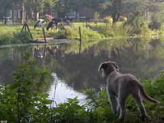 Instinct (Harry Mijland) Tags: dog max holland netherlands cow utrecht cows nederland hond explore nl amelisweerd koe koeien rhijnauwen krommerijn instinct bunnik pastorvasco dearharry harrymijland spaanseherder