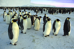 March of the penguins. (BrynJ) Tags: emperorpenguins halley antarctica seasons 500plus topv999 topf50
