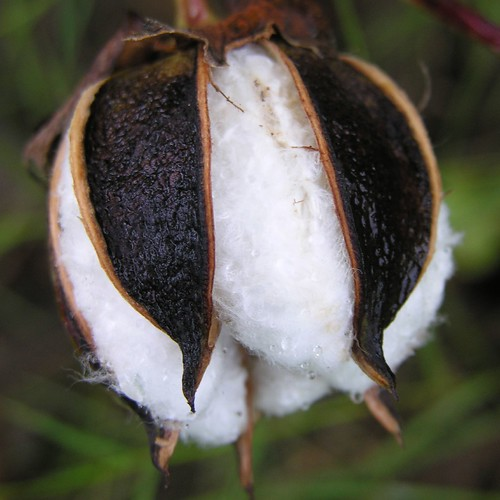 Boll is Opening to Reveal the Cotton