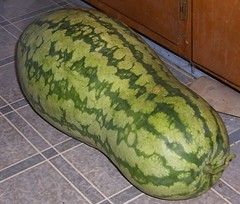 odd-shaped watermelon like this could soon become fuel. photo by General Wesc via Creative Commons