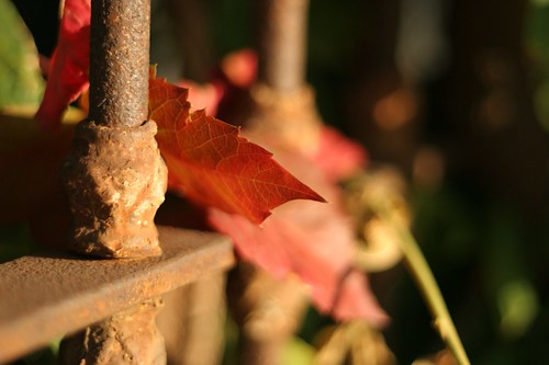 Autumn Leaf and Rusted Gate