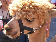 alpaca (marginscribbler) Tags: alpaca california fair statefair
