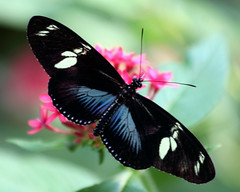 Doris Longwing (Studio E) Tags: dorislongwing butterfly