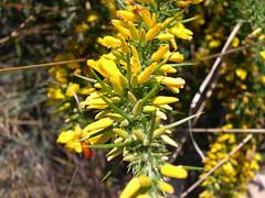 o toxo arquera tags espino flor toxo amarilla flower yellow