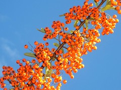 Citrus Tumble-Berries! (Trapac) Tags: blue autumn england sky orange downs bristol berries shrub pyracantha thedowns catacorner firethorn bristoldowns