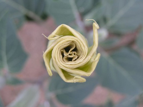 "datura • <a style=""font-size:0.8em;"" href=""http://www.flickr.com/photos/10528393@N00/41010314/"" target=""_blank"">View on Flickr</a>"