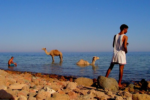 sea camels