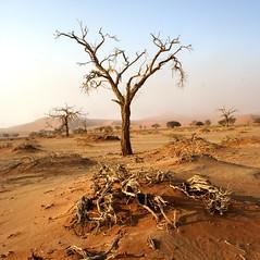 Tsauchab River, Sossusvlei - namibia desert namib sossusvlei tree sand exodus namibdesert tsauchab river