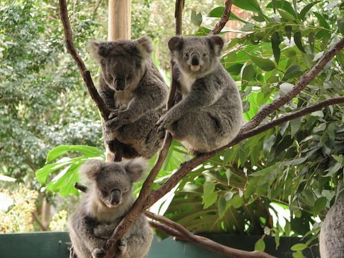 Koala Park Sanctuary, Sydney, Australie par le pélican, sur Flickr
