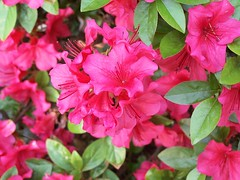 Pink Flowers in the Spring (mightyquinninwky) Tags: lexingtonky myfrontyard fontaineroad