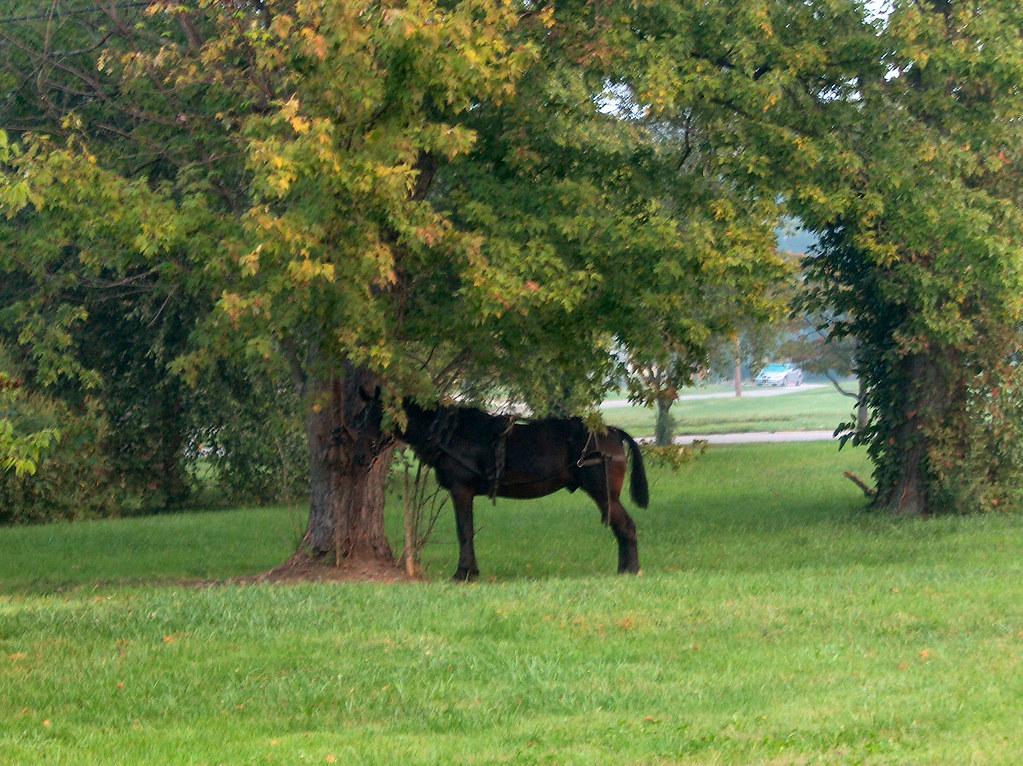 Amish Horse Waiting