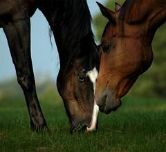 Grazing (nailbender) Tags: horse grass ilovenature topv333 bravo farm top20horsepix grazing blountcountyalabama nailbender abigfave qemdfinchadminfave jdmckinnon