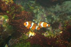 Nemo found! (Digitally Angelic) Tags: zoo nemo clownfish anemonefish noorderdierenpark amphiprionocellaris driebandanemoonvis harlekijnvis clownvis poissonclowntroisbandes falscheclownfisch