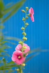 (α) Tags: pink flower malvaceae urbannatureblog