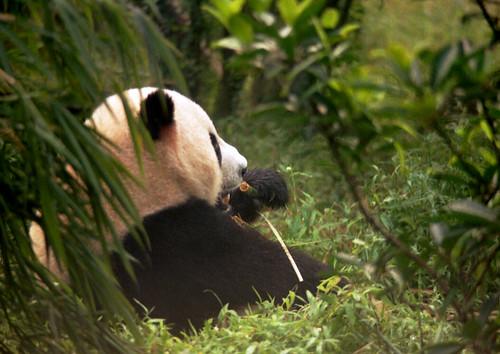 panda bear eating bamboo leaves and shoots