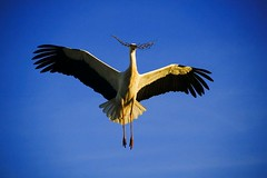 AB007927 (Tariq's Fantasy World) Tags: africa animals bird branch carrying flying middleeast morocco naturalworld nobody oneanimal storks twigs whitestorks wildlife