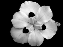 Flor da calada (joaobambu) Tags: 2005 iris brazil blackandwhite bw stilllife white flower deleteme macro topf25 beautiful topv111 closeup brasil topv2222 contrast canon petals interestingness top20bw interesting topf50 topv555 topv333 topf75 perfect peace deleteme10 topv1111 topc50 flor topv999 peaceful blumen topv5555 blackground innocence topv777 fav bianca delicate topf125 tao topf100 topf15 iridaceae marlia topf65 taoteching interestingness29 imagekind