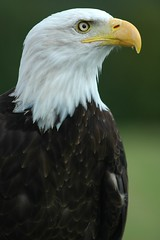 """Helga"" - a Bald Eagle (frielp) Tags: uk england bird kent nikon place d70 eagle centre bald raptor prey helga 70200mm groombridge 14tc"