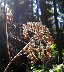 Spider webs in the backlight (Gerlinde Hofmann) Tags: germany thuringia woods forest tree weed wildflower cobweb backlight september autumn sun spiderweb faded spinnwebe sonne sonnenstrahlen verblüht spinne withered verwelkt fadedflower