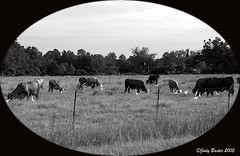 """B&W Cows in Pasture with """"Cow Birds"""" (Old Shoe Woman) Tags: usa georgia southgeorgia dilosep05 rural pasture cows birds cowbirds photoshop blackandwhite bw dilosept05bw dilosept05"""