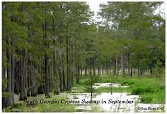 South Georgia Cypress Swamp in September (Old Shoe Woman) Tags: usa georgia southgeorgia dilosep05 cypressswamp cypresstrees trees water cypress spanishmoss dilosept05