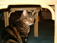 Condescending to the Camera (unprose) Tags: pet cats pets cat tabby dexter ccc30