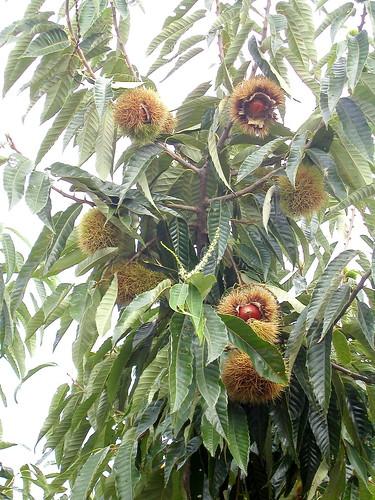 فروه فاكهة الشتاء