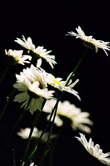 Where is the light? (Vratsagirl) Tags: flowers daisies ilovenature loze gardentreasures vratsagirl
