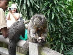 Sakis having lunch, Treetop trail (shimmertje) Tags: singapore zoo 905 sakis having lunch treetop trail