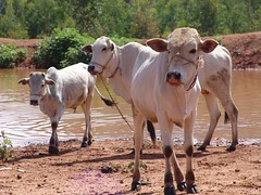 Cows, having had their fill (CharlesFred) Tags: africa countryside african somali dailylife ethiopia afrique harar ogaden babile