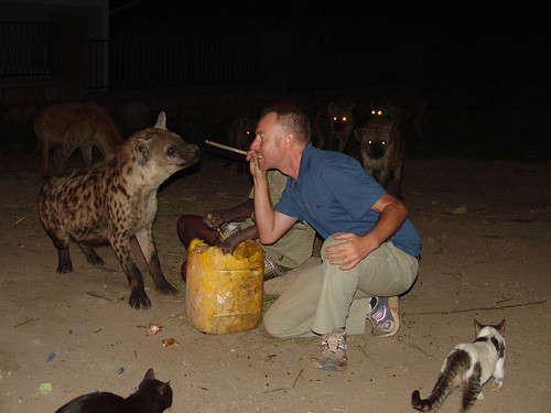 Feeding a hyena with meat at the end of a stick held in one's mouth